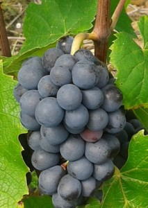 grappe_raisin_gamay_aout_2014